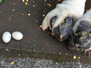 ヒナと卵2.jpg